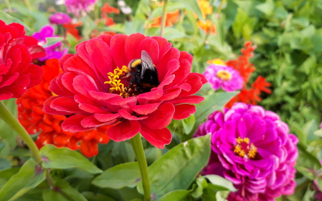 A bee collects nectar from a red flower grown at the People's Community Garden