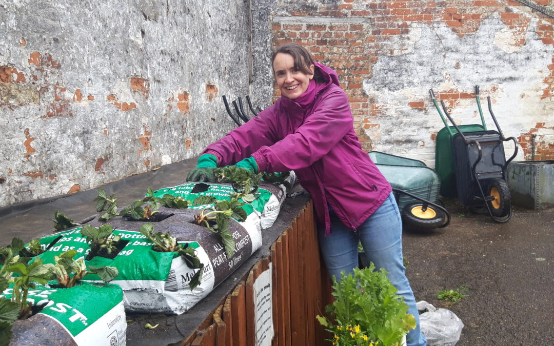 An ActivLives volunteer plants the strawberries on the garden picking table