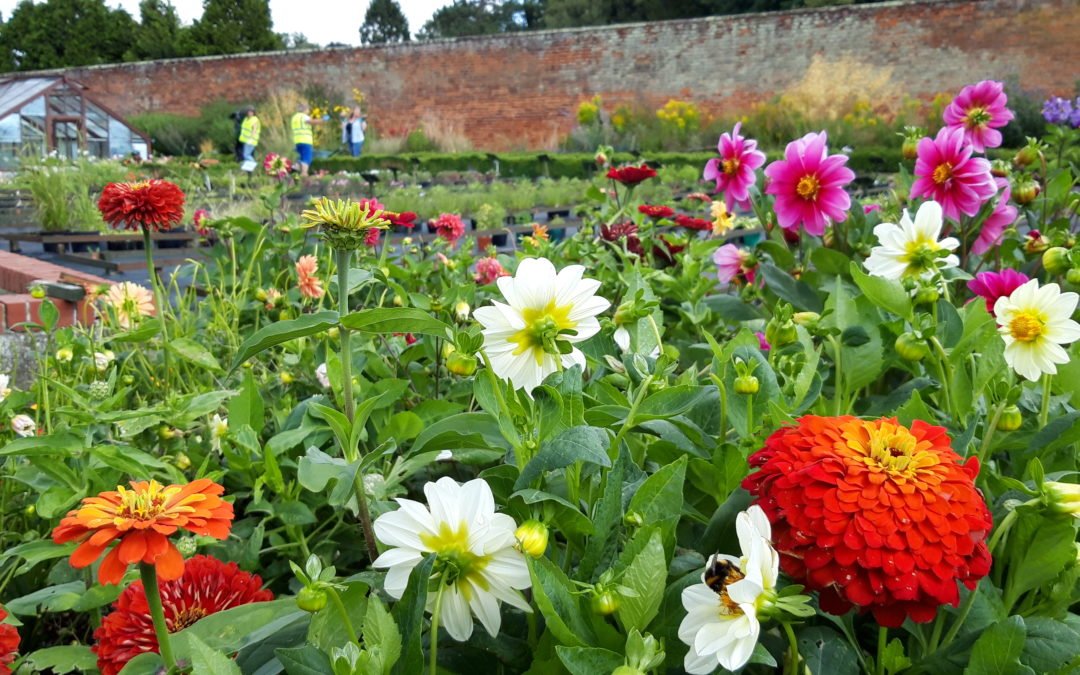 An image of a flower bed at Chantry walled Gardens , orange, white and purple flowers all crowd in the foreground whilst several volunteers from the garden can be seen working in the background.